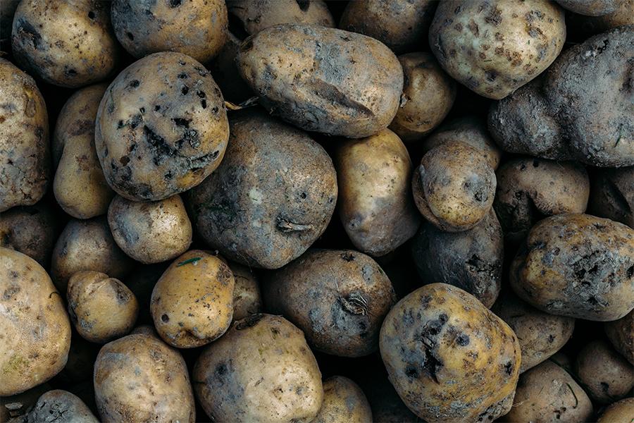 Aardappelplaag